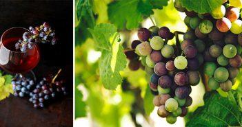sagra dell'uva e del vino, Cerveteri